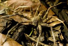 Hunting ground (chus maestro) Tags: canon 400d eos indonesia borneo kalimantan tanjung puting natural park jungle selva spider araña arthropoda