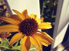 Have a Beautiful Day Friends (Mr. Happy Face - Peace :)) Tags: art2019 flower floral yellow sunflower macromondays theme closeup wtbw
