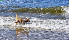 Perro jugando a la pelota en la mar océana. (Pontius Pilatuss) Tags: sea mar oceano ocean atlantico atlántico atlantic agua water nature naturaleza huelva perro dog olas waves juego play pelota ball andalucia andalusie andalousie andalusia andalusien
