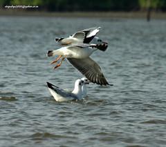 IMG_7843 Brown-headed Gull (Chroicocephalus brunnicephalus) (vlupadya) Tags: greatnature animal bird aves fauna indianbirds brownheaded gull chroicocephalus kundapura karnataka