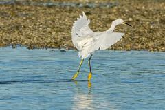 Ballerina landing (ChicagoBob46) Tags: snowyegret egret bird jndingdarlingnwr florida sanibel sanibelisland nature wildlife naturfethroughthelens coth coth5 ngc