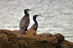 8510_cormorants (Realmantis) Tags: cormorant bird rock ocean seabird