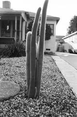 000338450021 (sadjeans) Tags: minoltahimatic7sii rangefinder jchstreetpan400 blackwhite 35mm film burbank cactus thedarkroomlab