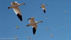 Snow Geese in Flight (OJeffrey Photography) Tags: snowgeese gaggle skien birdsinflight birds wildlife newmexico nm panorama pano ojeffrey ojeffreyphotography jeffowens nikon d500