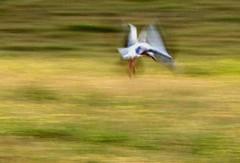 der storch hebt ab (lualba) Tags: storch stork nature wiese meadow landscape landschaft alentejo portugal