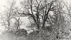 Muret (domingo4640) Tags: mur muret arbre chene loxia loxia85 loxia2485 lot causse cajarc monochrome noiretblanc brume quercy departementdulot midipyrenees