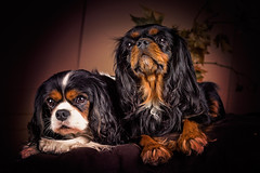 Sweet couple (Pepenera) Tags: dog dogs dulces cane cani cavalier cavalierkingcharlesspaniel portrait coppia
