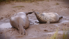 donna nook_20181202_3 (CsabaDeak) Tags: seals baby puppy lincolnshire grass sea playing rest mud