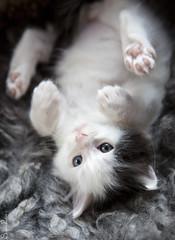 20170908_4951c (Fantasyfan.) Tags: kuunkissan kitten cat turkish van fantasyfanin