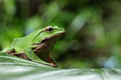 2J4A8064 (ajstone2548) Tags: 12月 樹蛙科 兩棲類 翡翠樹蛙