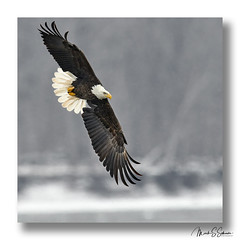 Bald Eagle at Clarksville Missouri - No 5 (Nikon66) Tags: baldeagle eagle clarksville missouri nikon d850 600mmnikkor