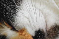 *** (donnicky) Tags: cat closeup fluffy furry indoors macro nopeople pet publicsec whiskers лилу