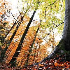 Avant que vienne l'hiver (Un jour en France) Tags: canonef1635mmf28liiusm canoneos6dmarkii automne arbre forêt soleil carré square