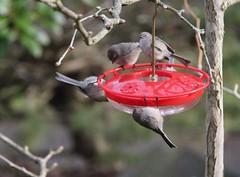 meeting for a Christmas drink - avec moderation? (Pierre♪ à ♪VanCouver) Tags: bushtit bird pássaro 鳥 vogel aegithalidae mésange uccelli pájaro vancouver