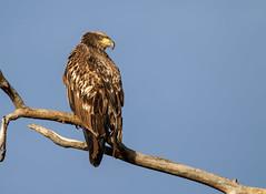 Juvenile Bald Eagle (Lynn Tweedie) Tags: wood baldeagle beak tail wing canon ngc animal loessbluffsconservationarea blue 7dmarkii tree bird sky feathers eos missouri juvenile eye
