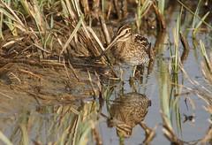 DSC07494 (simonbalk523) Tags: snipe birds lakes nature wildlife wild sony animals tamron photography arundel sussex reflections