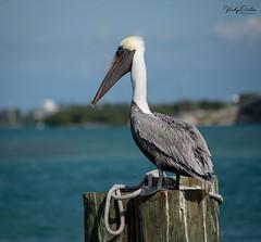 Brown pelican. (vickyouten) Tags: brownpelican nature wildlife americanwildlife nikon nikond7200 nikonphotography nikkor55300mm floridakeys florida america usa vickyouten