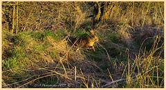 Being alert 03110074 (dark-dave) Tags: wildlife animal bushnell