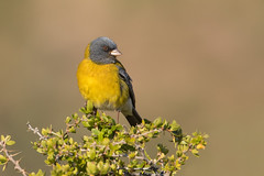 Cometocino (ik_kil) Tags: cometocino cometocinodegay greyhoodedsierrafinch phrygilusgayi farellones regiónmetropolitana avesdechile birds chile