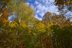 First and second canopy layers (МирославСтаменов) Tags: russia moscowregion maple linden aspen fall cloudscape autumn forest