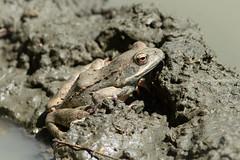 Rana cf. temporaria (Common Frog) - Ranidae - Shipka, Bulgaria (Nature21290) Tags: amphibian anura bulgaria bulgaria2018 commonfrog frog rana ranatemporaria ranidae shipka