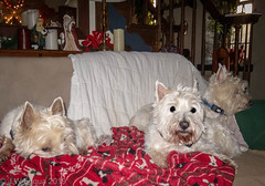 Three Amigos (jwfuqua-photography) Tags: dogs westie pets abby mac doogie jwfuquaphotography jerrywfuqua terriers westhighlandwhiteterriers