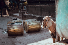 Sacrificial Goat (danielhibell) Tags: kathmandu nepal travel asia discover explore world street streetphotography people religion culture ambience mood buddhism hinduism colour light praying moving special
