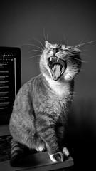 Tigar (-beyond time-) Tags: cat pets pet tiger