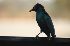 Cape Glossy Starling (Rckr88) Tags: krugernationalpark southafrica kruger national park south africa cape glossy starling capeglossystarling bird birds animals animal naturalworld nature outdoors wilderness wildlife