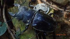 P1255551 (yangklin) Tags: 光明山稜線 鍬形蟲