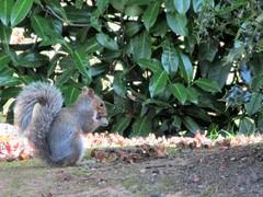 Eastern grey squirrel [Explored] (pefkosmad) Tags: priorypark greatmalvern worcestershire malvern squirrel animal wildlife nature autumn october profile tail easterngreysquirrel explore explored