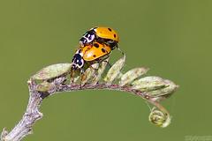 Two-gether (Vie Lipowski) Tags: ladybug ladybird ladybeetle convergentladybug hippodamiaconvergens insect beetle bug weed leaf stalk wildlife nature macro