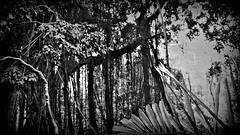 INDONESIEN, Bali , unterwegs in Ubud , im Affenwald , Banyanbäume, Affen und Skulpturen, 17929/11151 (roba66) Tags: bali urlaub reisen travel explore voyages rundreise visit tourism roba66 asien asia indonesien indonesia insel island île insulaire isla ubud affenwald padangtegal monkeyforest monkey affen javaneraffen makaken macaca wild macaque balinese longtailed tier tiere animal animals creature jardin giardini park nature natur naturalezza baum bäume tree trees arbes arboles alberi wald forest banyanbaum blackwhite bw sw branco negro blackandwhite blancoenero blancoynegro monochrome byn bretoebranco einfarbig schwarzweis dschungel urwald jungle
