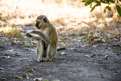 Simply Robbery _5584 (hkoons) Tags: southernafrica africa botswana monkey ancestor animal beast biped family group humanlike mammal monkeys pack primate