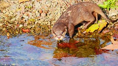 Loutre - 6139 (ΨᗩSᗰIᘉᗴ HᗴᘉS +37 000 000 thx) Tags: loutre water eau river animal pairidaiza hensyasmine namur belgium europa aaa namuroise look photo friends be wow yasminehens interest intersting eu fr greatphotographers lanamuroise color