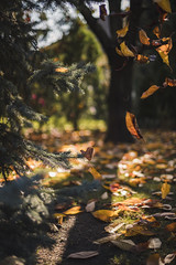(Viktor Kiss) Tags: nikon d850 50mm 14 fall autumn colours colors color leaves leaf shadows pine cherry tree light