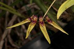 Bulbophyllum picturatum 2018-10-05 01 (JVinOZ) Tags: orchidspecies orchid bulbophyllum