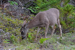 DSC_0758 (afagen) Tags: california pacificgrove montereypeninsula asilomar beach pacificocean ocean asilomarstatemarinereserve animal deer asilomarconferencegrounds