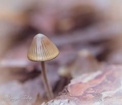 mushrooms (JosjeToby) Tags: mushrooms mushroom fall autumn2018 autumn macro macrophotography macromood macrodreams macros nature naturephotography bokeh bokehandblur blur sonya6000