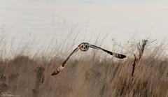 Short-eared Owl Head On (Steve (Hooky) Waddingham) Tags: bird british animal countryside coast nature northumberland flight hunting wild wildlife prey owl