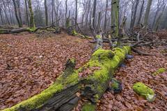 Naturreservat Katzenkopf, Soonwald (doerrebachtaler) Tags: katzenkopf soonwald naturreservat buche buchenwald baumpilz nebel hunsrück seibersbach schanzerkopf hochsteinchen