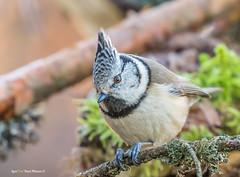 """Tutttikas !"" #tutt_tihane #Lophophanes_cristatus #Crested_Tit #tihane #lind #loodus #oks #canon (Igor ""Ixa"" Nael) Tags: tutttihane crestedtit lophophanescristatus tits tihane lind bird birds wood macro macrofoto nature wild haubenmeise"