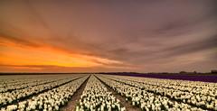 Flat flowery fields. (Alex-de-Haas) Tags: 11mm adobe blackstone d850 dutch hdr holland irix irix11mm irixblackstone lightroom nederland nederlands netherlands nikon nikond850 noordholland photomatix asparagaceae beautiful beauty bloem bloemen bloementeelt bloemenvelden cirrus floriculture flower flowerfields flowers hyacint hyacinten hyacinth hyacinths hyacinthus hyacinthusorientalis landscape landschaft landschap lente lucht mooi polder skies sky spring sun sundown sunset zonsondergang