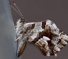 La captura de hoy (rosaadda) Tags: nikonflickraward nikon 5300 macrofotografía macro butterflies mariposas insects insectos fantasticnature