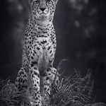Almost Monochrome Cheetah thumbnail