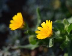 No es un espejo (rosaadda) Tags: nikon 5300 macrofotografía macro naturaleza nature fantasticnature flowers flor flores nikonflickraward