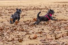 KICKINLEAVES (uofmtiger) Tags: dog schnauzer pups canine mutt