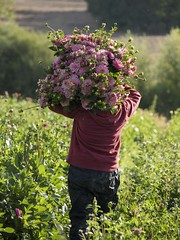 Le poids des fleurs *---- --° (Titole) Tags: flowers bouquet many heavy woman worker back behind field titole nicolefaton dahlias challengeyouwinner