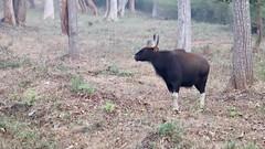 Gaur at dawn (Nagarjun) Tags: gaur indianbison herbivore wildlife animal fauna nagarholenationalreserve riverkabini karnataka