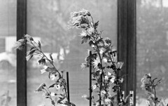 Potted flowers (odeleapple) Tags: voigtlander bessa r2m carl zeiss planar 50mm kodak400tx film monochrome analog bw flower potted